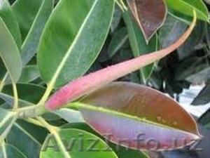 Продаются домашние растение  - Изображение #1, Объявление #99082