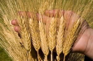 Пшеница 3 класс - Изображение #1, Объявление #1665027