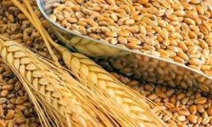Пшеница 3 класс - Изображение #2, Объявление #1665027