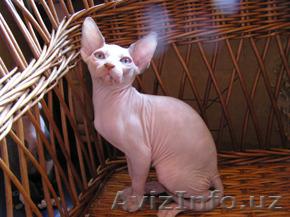 Замечательные котята канадский сфинкс Киев, Объявление #673319